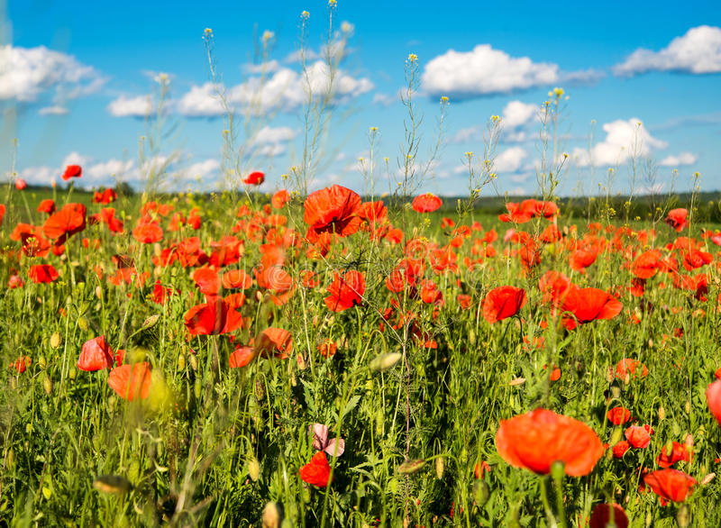 Download Poppy stock photo. Image of flower, landscape, garden - 34423542