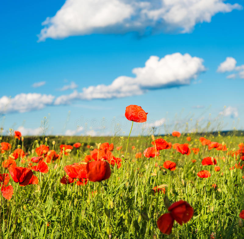 Download Poppy stock image. Image of cloudy, beautiful, flores - 34423759