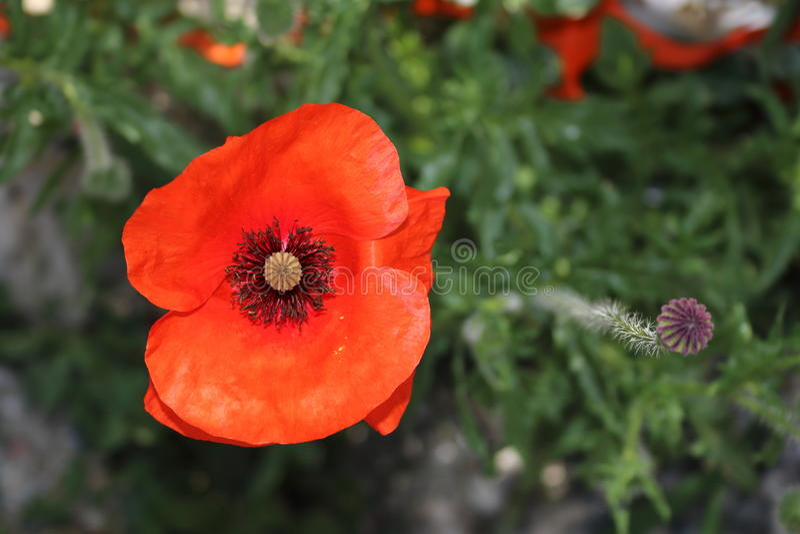 Poppy. Red poppy at the roadside stock image