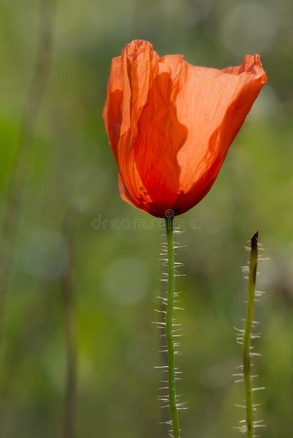 Poppy Rose abstraite photographie stock libre de droits