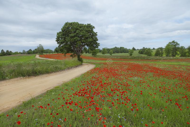 Red poppy`s field with beautiful tree on foreground royalty free stock photography