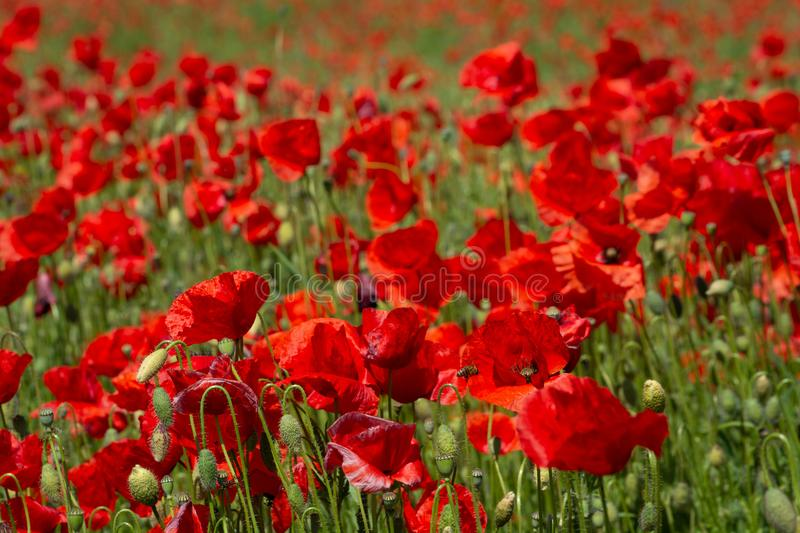Poppy`s field in summertime , close up with red blurry background royalty free stock image