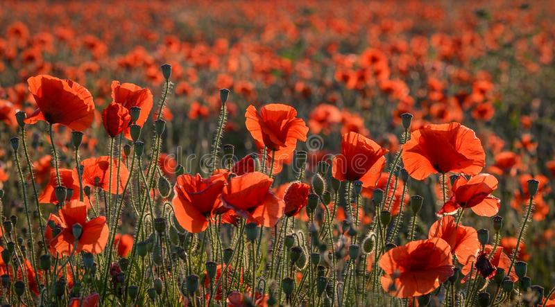 Poppy`s royalty free stock images