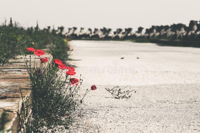 Poppy sea side landscape royalty free stock photo