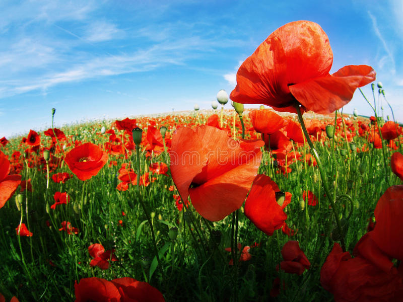 Poppy seed field royalty free stock photography