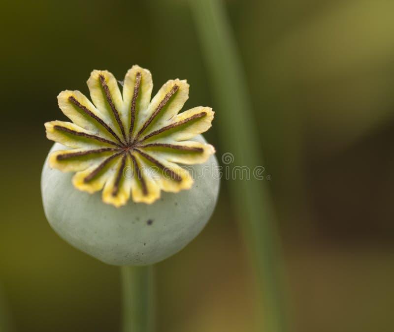 Poppy Seed Head Macro stock image