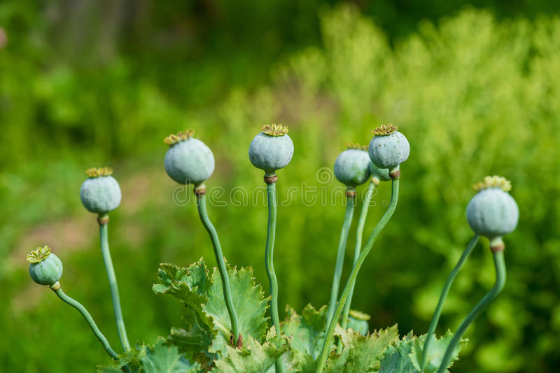 Poppy Seed Heads stock foto