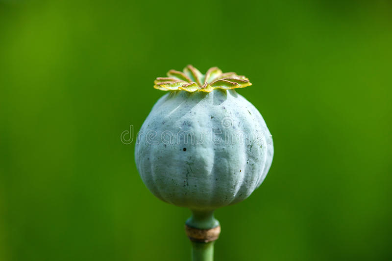 Poppy Seed Heads stock foto's