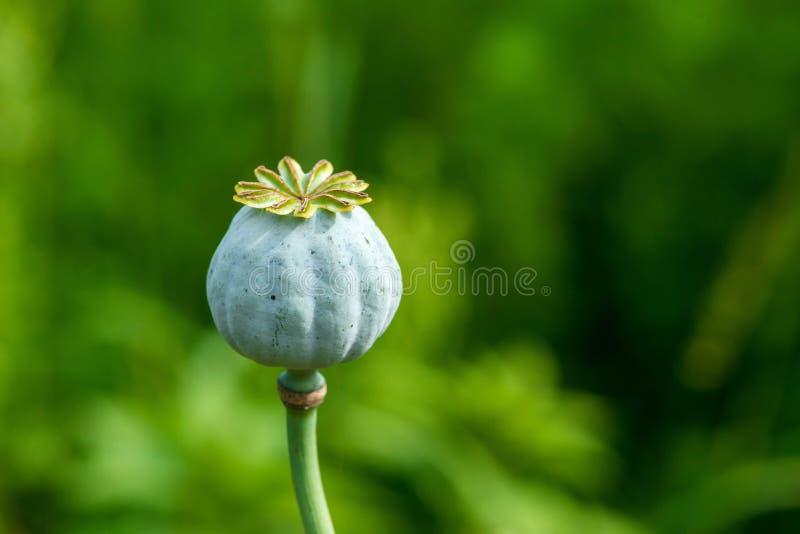Poppy Seed Heads royalty-vrije stock afbeelding