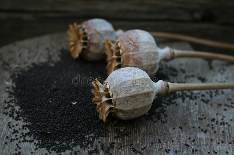 POPPY SEED PODS royalty free stock image