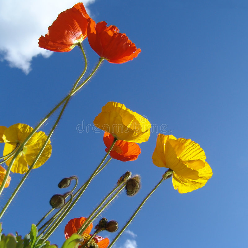 Poppy in the sun. Red, orange and yellow blossoms in front of a blue sky stock photography