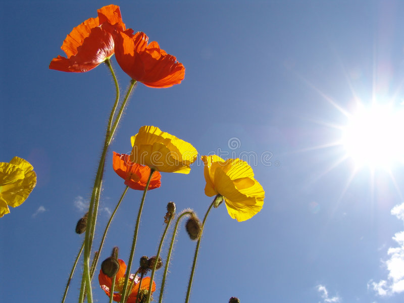 Poppy in the sun. Red, orange and yellow blossoms in front of a blue sky in back light stock photos