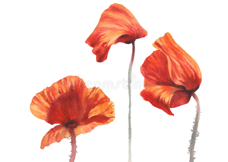 Poppy sunny isolated watercolor royalty free stock images
