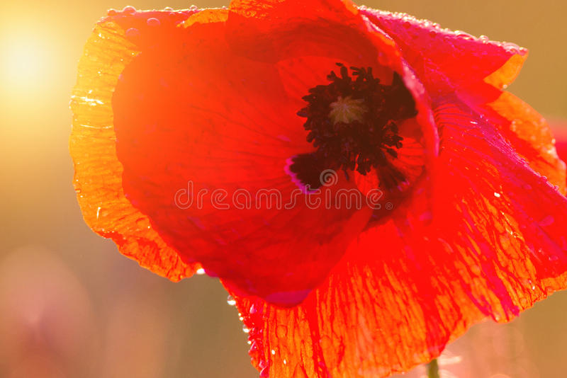 Poppy sunshine stock images