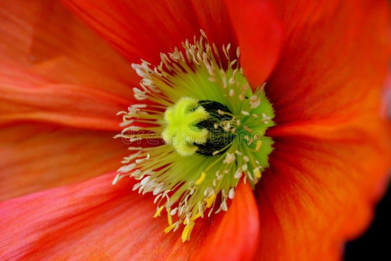 poppy szczególne zdjęcia stock