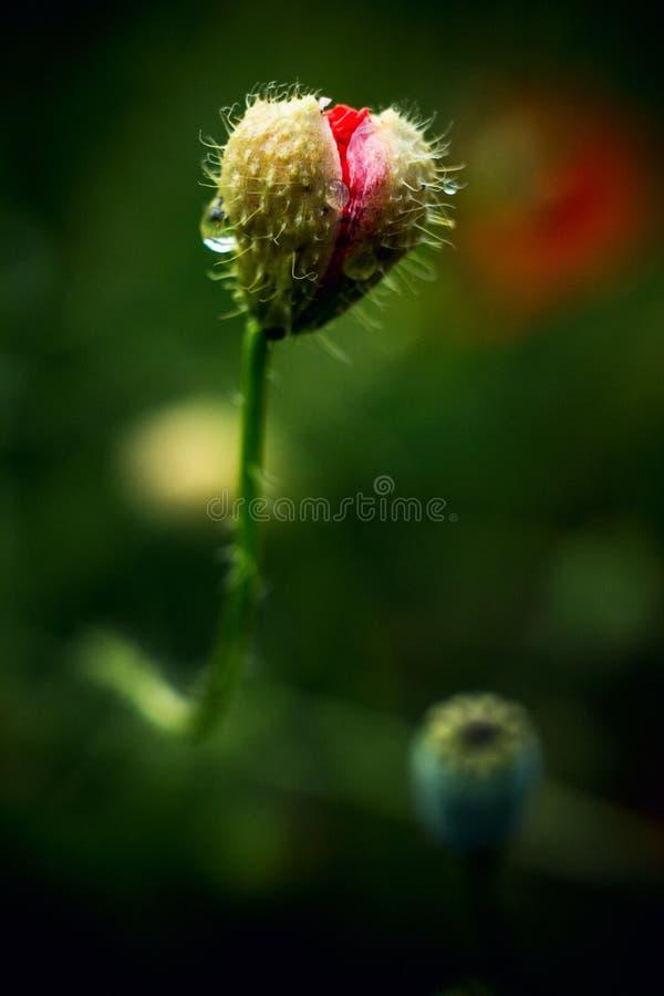 Poppy Tear Lokalisierte schöne rote Blume der Mohnblume mit Tau Abstrakter grüner Hintergrund lizenzfreie stockbilder
