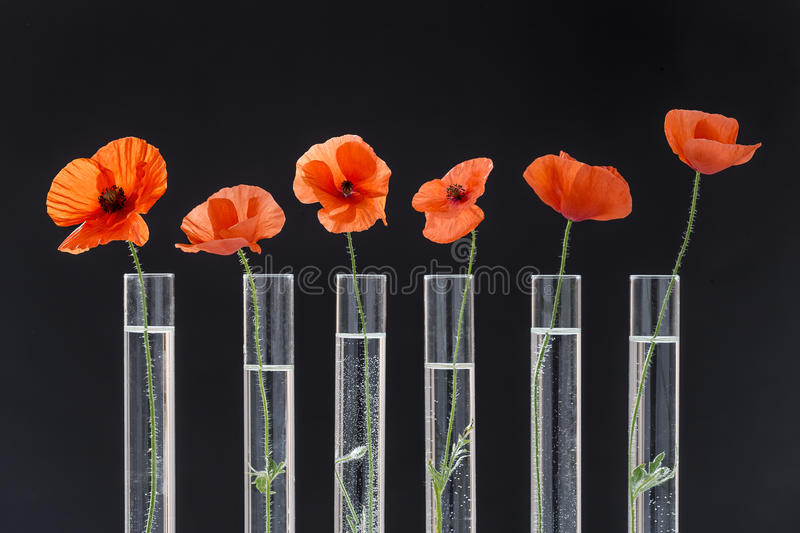 Poppy in test tube for herbal medicine and essential oil on black background. The concept of medicinal plant research. stock images