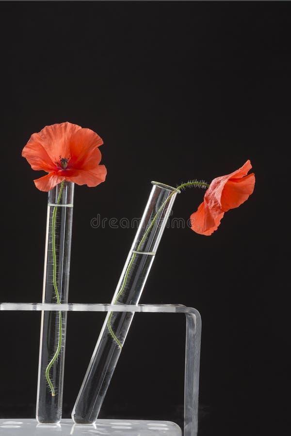 Poppy in in test tubes stock photo