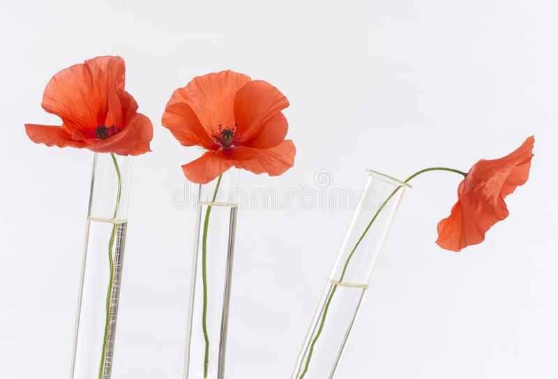 Poppy in in test tubes royalty free stock photography