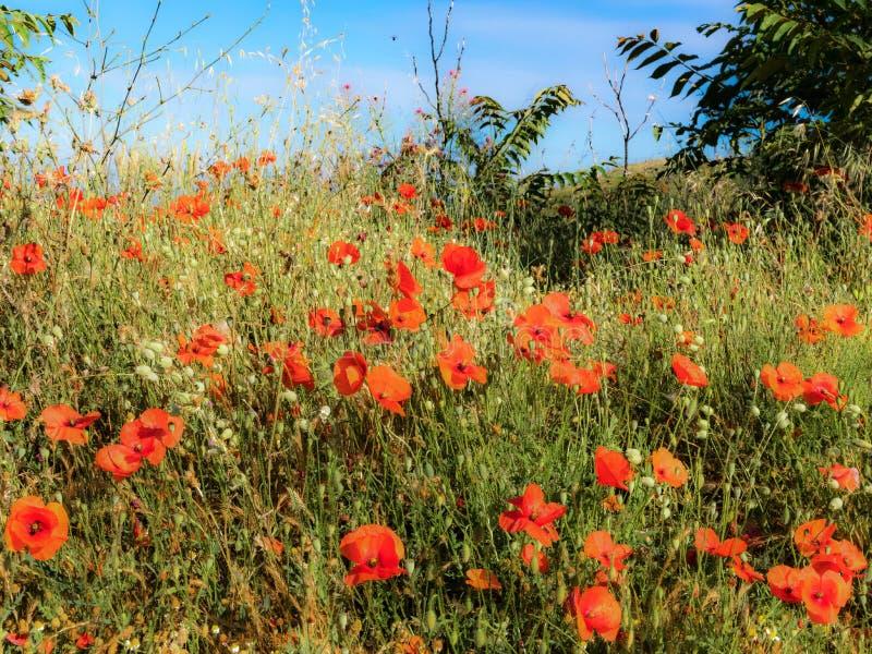Poppy Thicket en el Sun foto de archivo