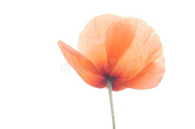 Download Poppy VI stock image. Image of leaves, leaf, summer, close - 169943