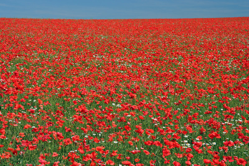 Poppy view. Full frame view of massive poppy field in England royalty free stock photography