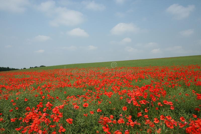 The Poppy View Free Stock Photography