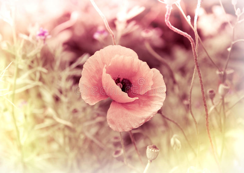 Download Poppy - vintage card stock image. Image of card, gentle - 20446987