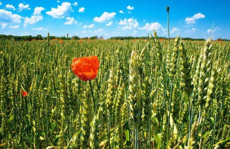 Poppy On Wheat Field Royalty Free Stock Photos