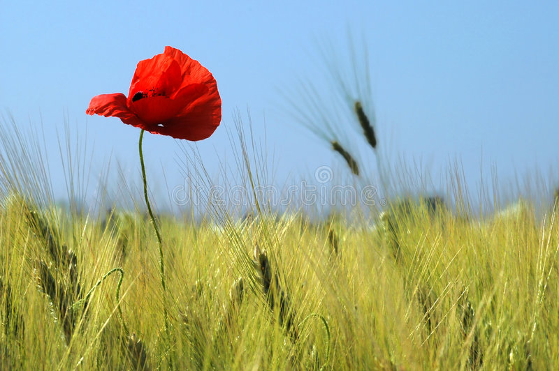 Poppy in a wheat field stock images