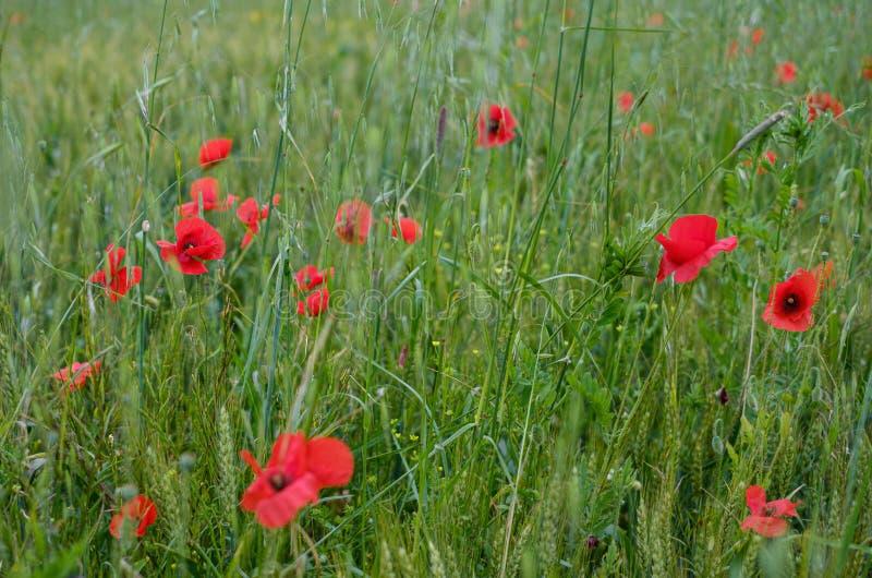 Poppy and wheat meadow, sunny day. Italy, Toscany stock photos
