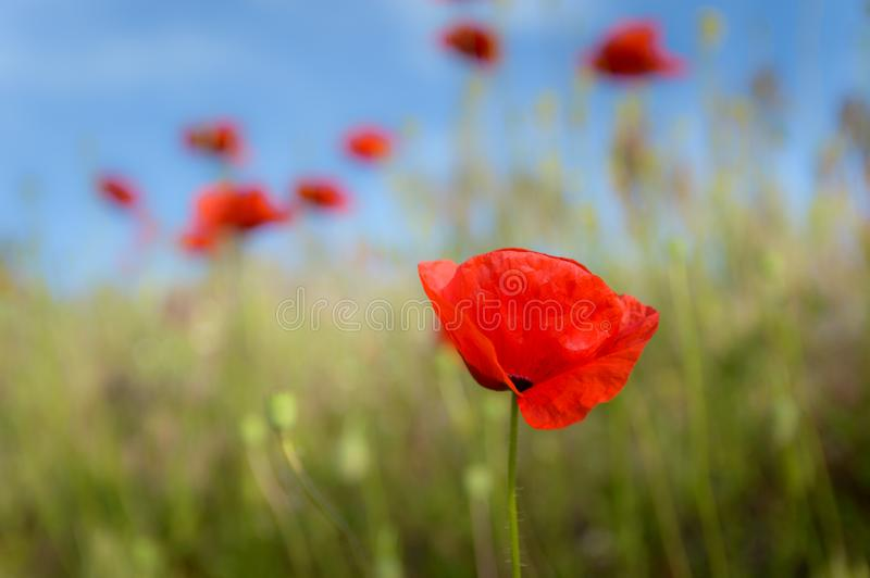 Poppy in the wheat stalk. Poppy in the wheat stalk in the summer stock photography