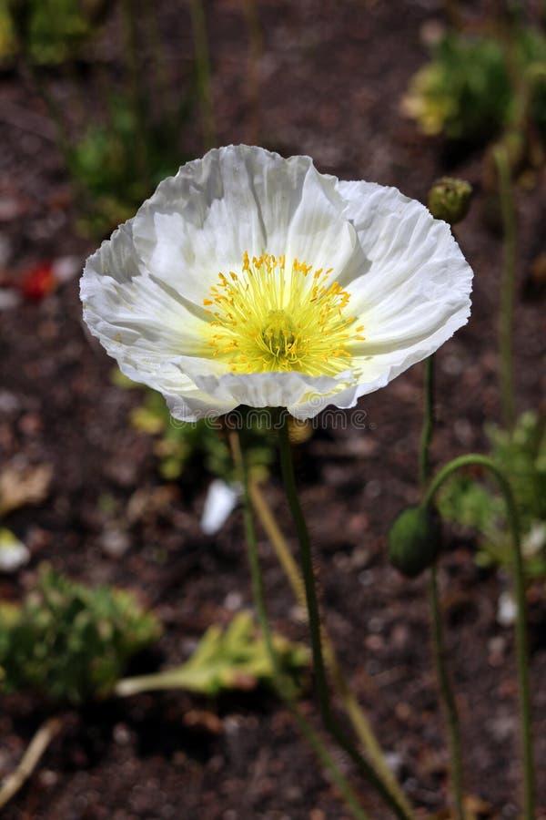 Poppy. White poppy flower under sunshine in garden stock image