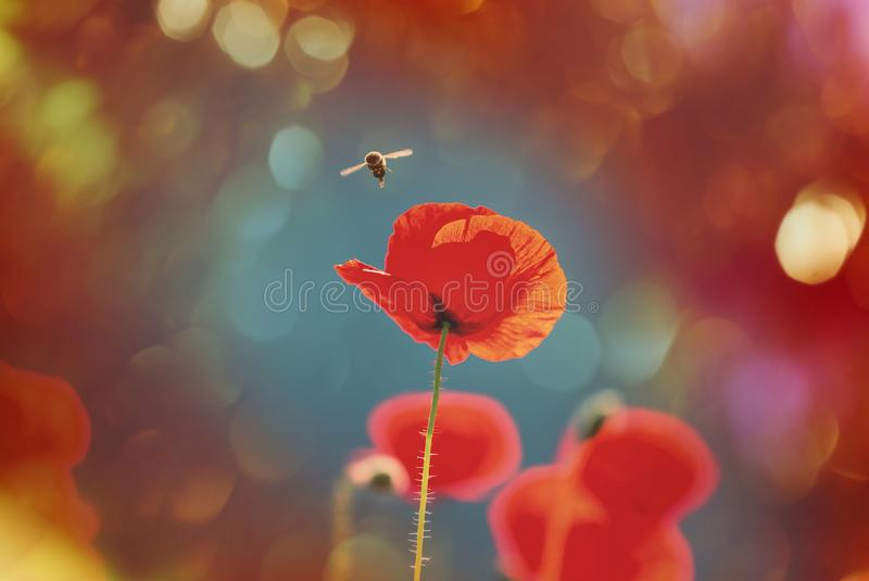 Poppy. Wild red poppies on the meadow in sunny day. Decorated with light spots royalty free stock images