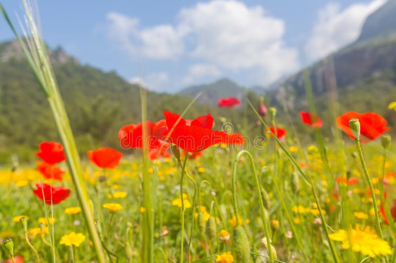 Poppy. Wild red poppies on the meadow in sunny day. Decorated with light spots royalty free stock photos
