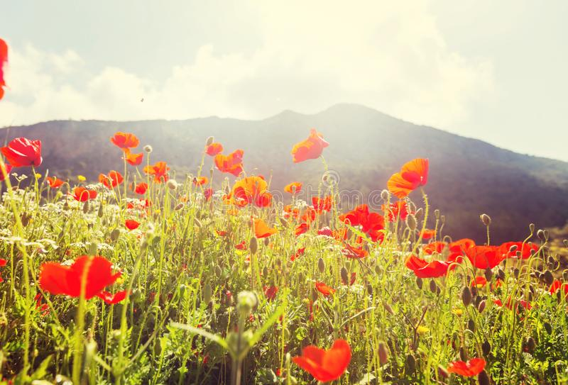 Poppy. Wild red poppies on the meadow in sunny day. Decorated with light spots stock image