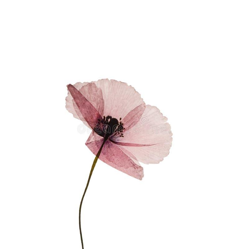 poppy wyciskany kwiat