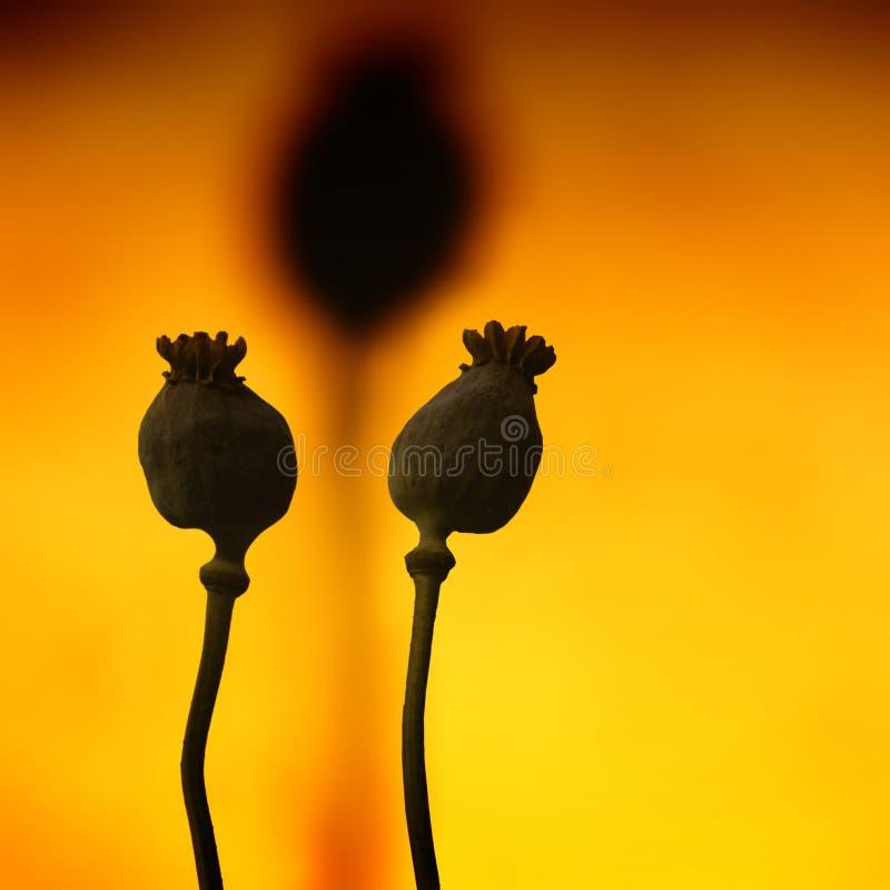 Free Poppyhead Royalty Free Stock Photography - 24104407