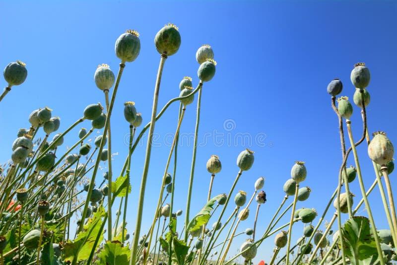 Poppyhead photo stock