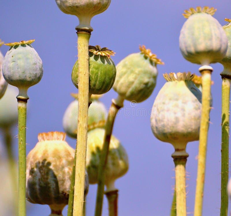 Poppyhead photographie stock
