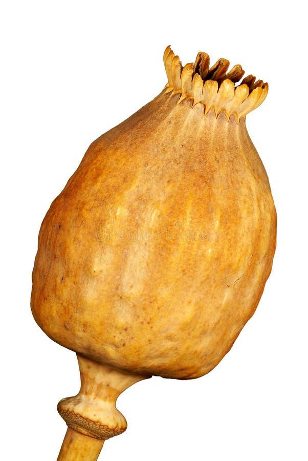 Poppyhead av opiumvallmon royaltyfri foto