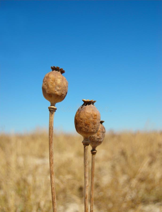 Poppyheads lizenzfreie stockfotos