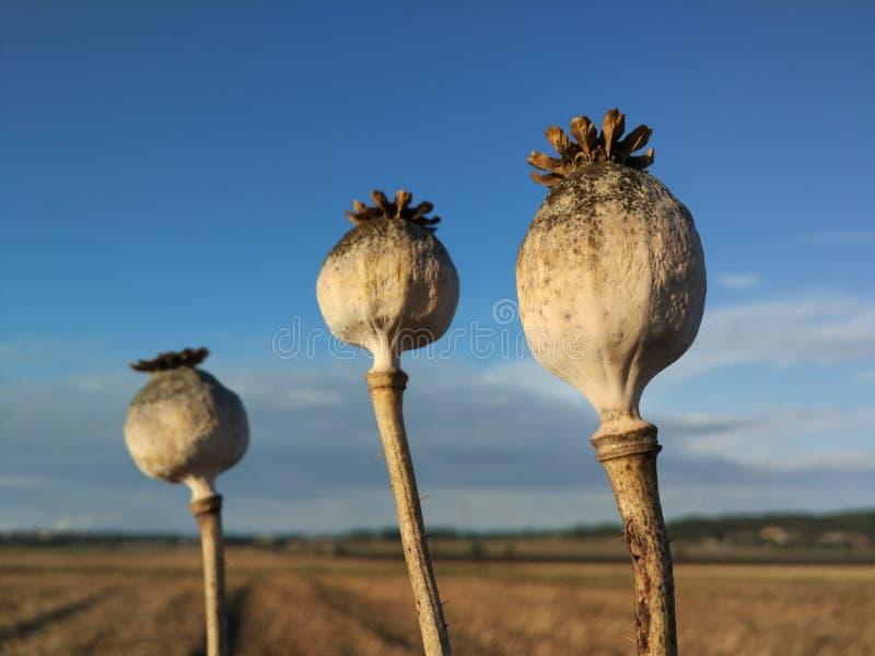 Poppyheads royalty-vrije stock fotografie