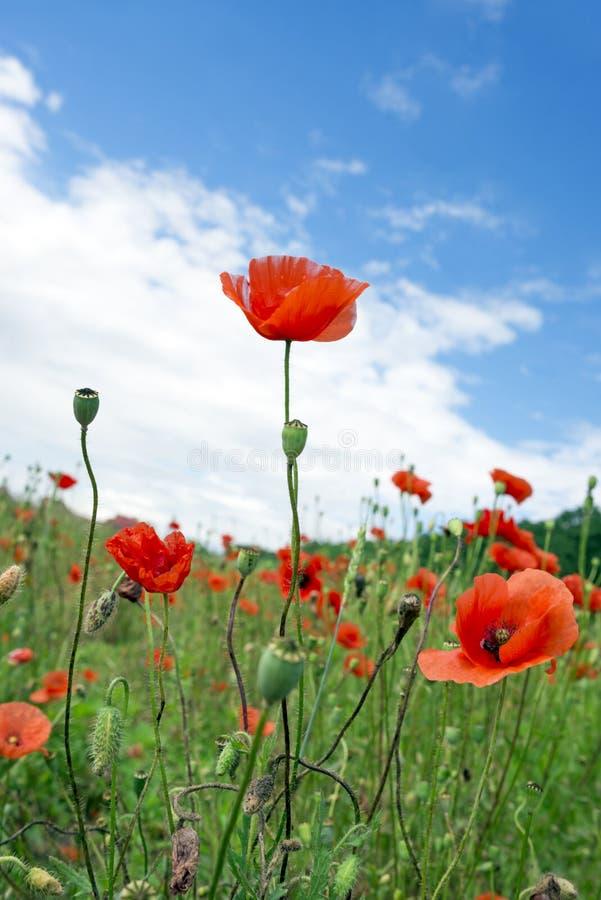 Poppyies стоковая фотография