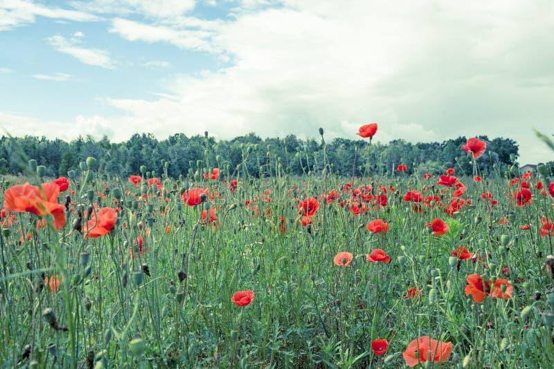 Poppyies royalty-vrije stock afbeeldingen