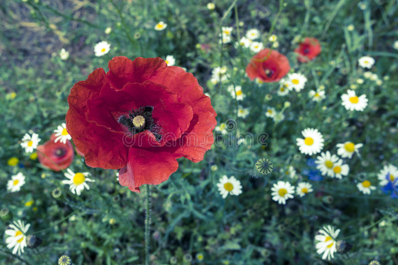 Poppyies стоковые фото