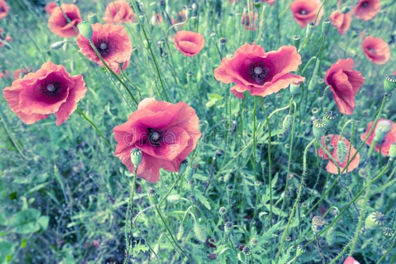 Poppyies royalty-vrije stock fotografie
