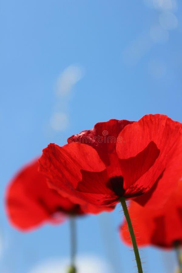 Poppys 免版税库存图片