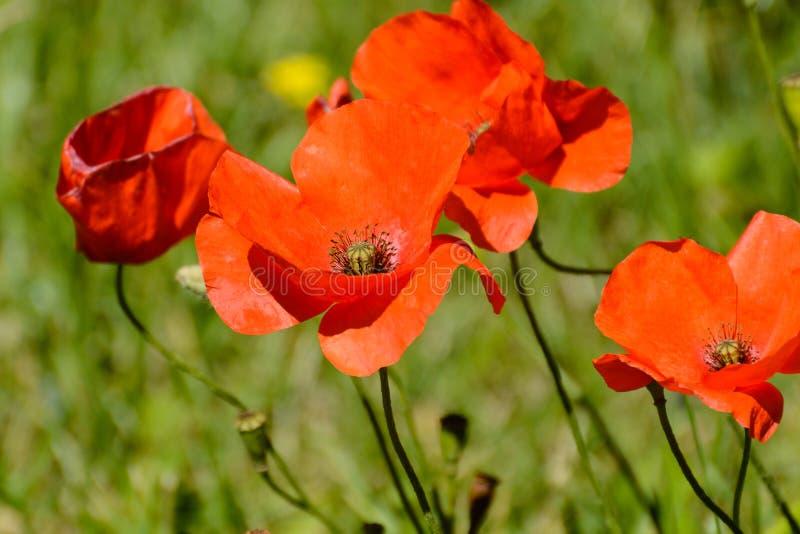Poppys stock foto