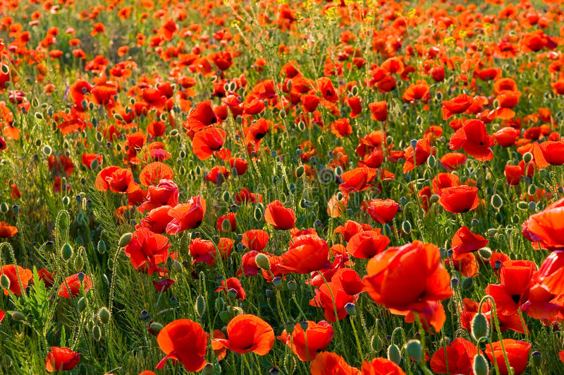 Poppys imagens de stock